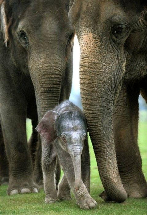 A 4-day old elephant calf stands beside his first-time mother, Karishma at Whipsnade Zoo, near Dunstable, central England. (Adrian Dennis / AFP - Getty Images): Asian Elephants, Animal Pics, Elephants Families, Cute Animal, Cute Baby, Baby Elephants, Baby Animal, Families Portraits, Elephants Love