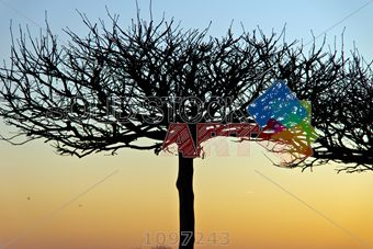 stock photo of leafless sycamore tree against sunset sky horizontal