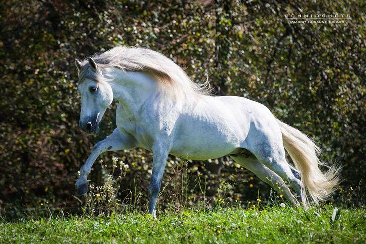 Verkaufspferde | showpferde.at