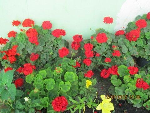 Чтобы герань всегда радовала цветением, нужна 1 капля йода... Очень хорошей подкормкой является йодовая вода: 1 каплю йода растворить в 1 литре воды и полить 50-ю мл этого состава по стенкам горшка. Н…