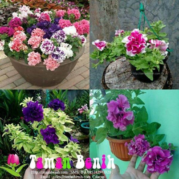 Gambar Bunga Petunia Ungu Kebanyakan Spesies Memiliki Bunga