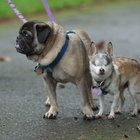 Diego, a 13-year-old blind Chihuahua, is slowly growing attached to his new pug pal, Buddy Nixon, after his lifelong companion passed away in 2010. Diego trots after Buddy when they go to the park on leash together and follows him to the food dish when it's mealtime.