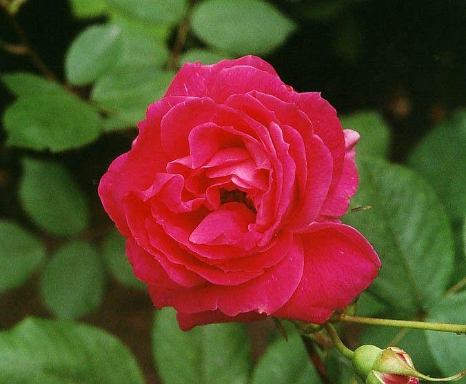 Rosa tehybrid 'Alexandra Renaissance' ('Prinsesse Alexandra Renaissance') | Dansk, modern buskros, renaissanceros, med mycket stora blommor i karminrött till mörkt karminrosa. Fin stark doft. Remonterande blomning. 1 x 0,8 m. Zon 3.