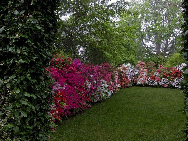 Azalea Hedge - I want to do this with all white azaleas along the backyard fence. Perfection!