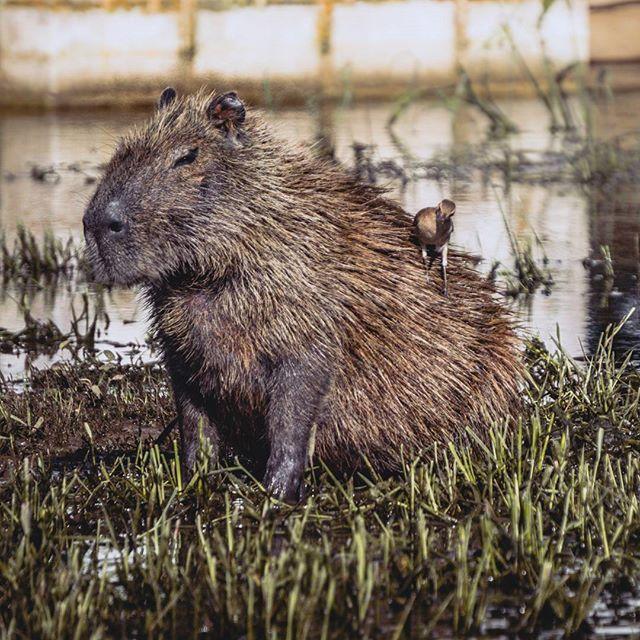 Who knows this animal...? It is a capybara with his buddy on the back. . . . #capybara #bird #animal #exclusive_wildlife #wildlife #brasil #southamerica #discoversouthamerica #travel #travelphotography #travelgram #passionpassport #neverstopexploring #earthpix #thegreatoutdoors #nature #lifeofadventure #mothernature #letsgosomewhere #picoftheday #wildlifephotography #instanature #wanderlust #ourplanetdaily #stayandwander #naturelovers #wildernessculture #wonderful_places #exploretocreate…