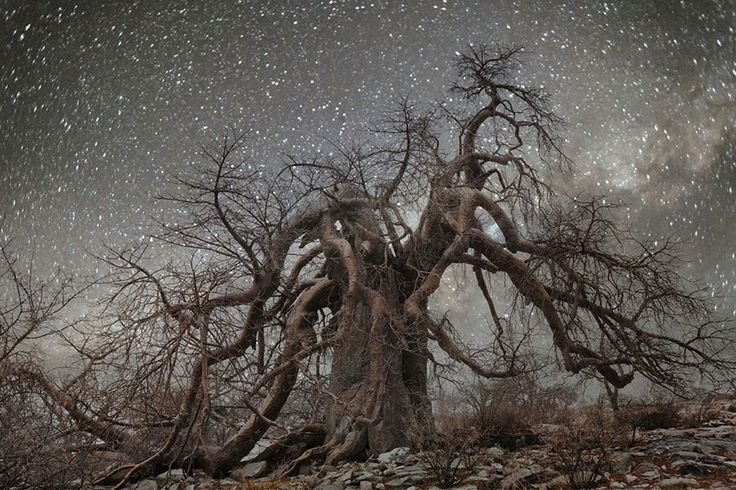 "Ancient trees affected by cosmic rays are the subject of The ""Diamond Nights"" project by San Francisco-based photographer Beth Moon. Moon has spent the last 14 years photographing the world's oldest trees in daylight, but this series captures them at night. Her photos feature primarily baobab and quiver trees in South Africa, Botswana, and Namibia."