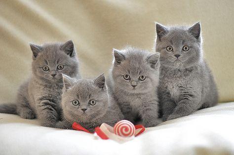 BKH Kitten - Britisch Kurzhaar Katzen - British Shorthair Cats   Flickr - Photo Sharing!