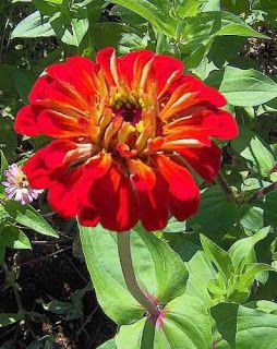 Flower Picture: Zinnia Flower Picture