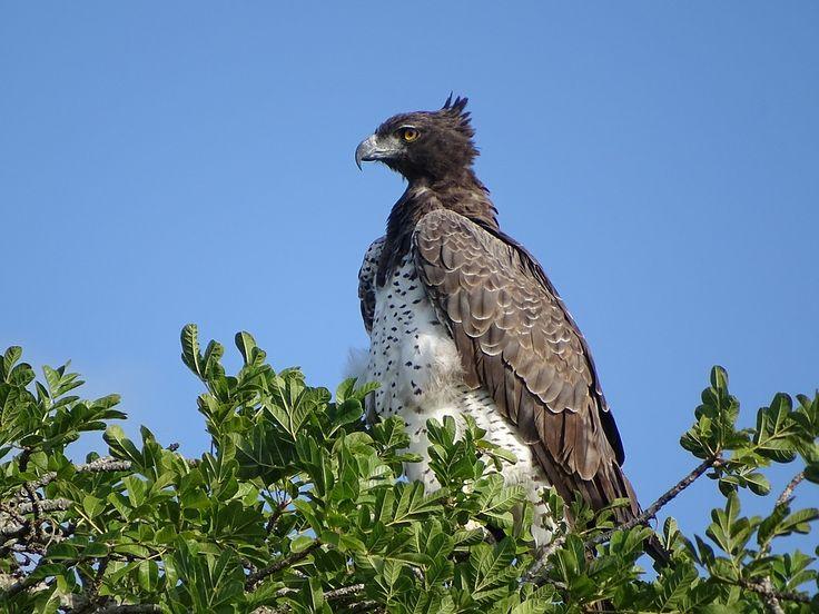 Martial Eagle - Large Bird of Prey #birds #nature