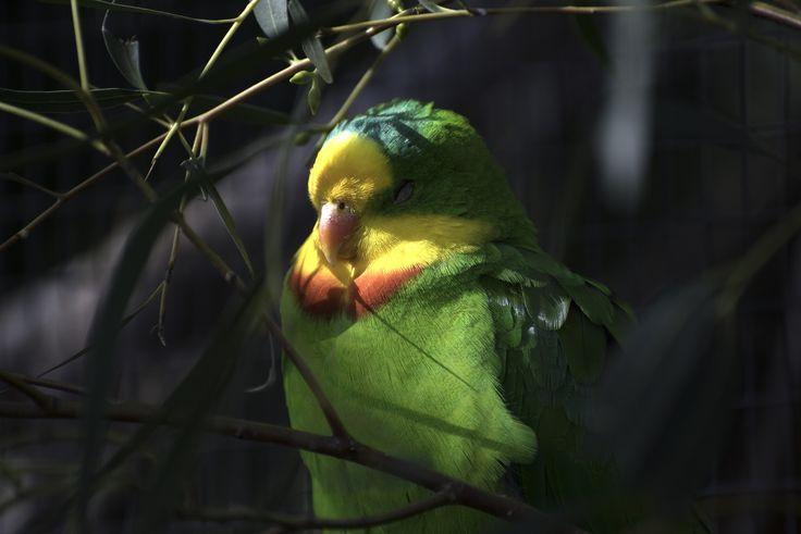 https://flic.kr/p/KWxJ7L | Sleepy Superb Parrot at Moonlit Sanctuary