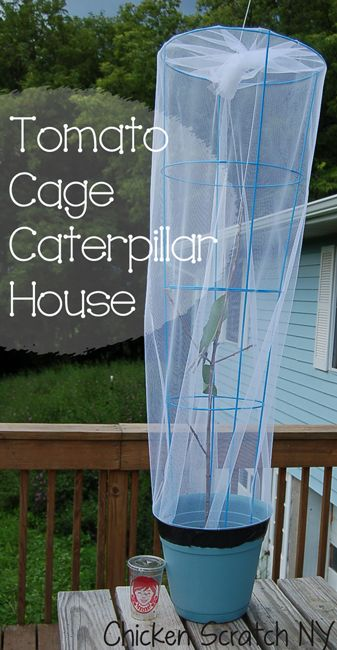Makeshift Caterpillar cage, but a better idea would be to use potted milkweed plants or cuttings containers since individual leaves dry up too quickly...
