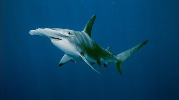 Hammerhead Shark information at National Geographic Kids.