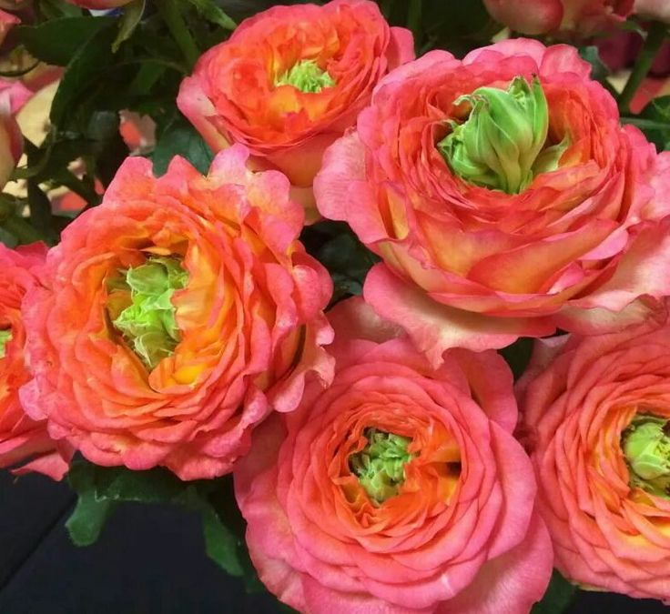 Coral Garden Rose 68 best coral and peach flowers images on pinterest | pretty
