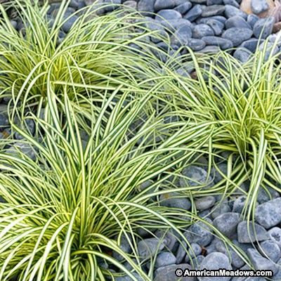 """A versatile and compact grass, Variegated Japanese Sedge Evergold can be tucked almost anywhere in the garden. Growing to be about 12"""" tall, the graceful, think blades are complimented by a yellow stripe. Instantly adding depth and texture to any garden bed, this Ornamental Grass is extremely low-maintenance once established. Evergold is an evergreen variety, prefers as much sun as possible, and is critter resistant."""