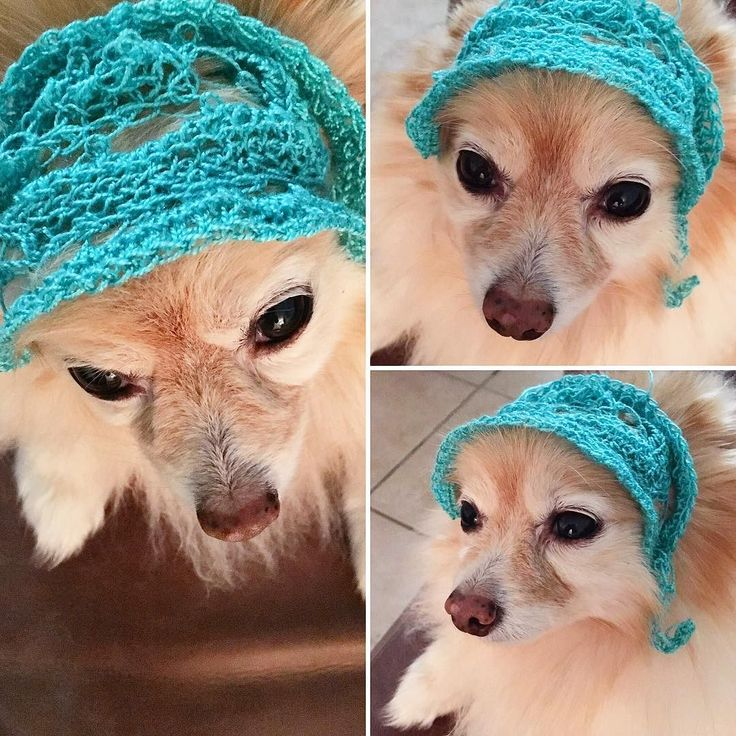 So I'm not really great with crocheting but I know the basics... I decided to calm my mind by doing a craft and I started crocheting something... I wasn't sure what I was making until I turned and looked at #tuffee and.... Well u can see what happened  #dogbonnet #bonnet #doghat #hat #crochet #crochetcrazy #thisistoocute #shedontlikeit #pomeranian #pompom #pommy #pommylovers #pommymommy #pomeranianworld #pomeraniansofinstagram #pomeranianlovers #dog #littlefluffball by rah_nii #lacyandpaws