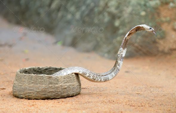 Cobra by galdzer. Cobra. A poisonous snake. Country Of Sri Lanka