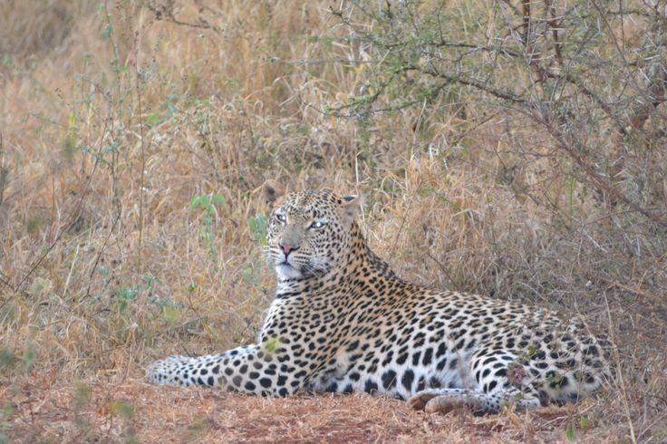 Leopard lost its kill to Lion