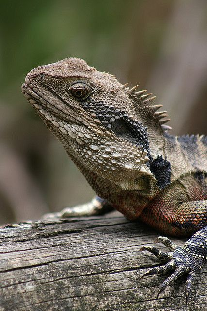 37 best galapagos marine iguana images on pinterest for Water lizard fish