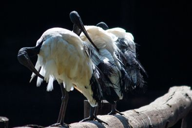 African Sacred ibis, enjoying the early morning sun at Irene Farm, Centurion.