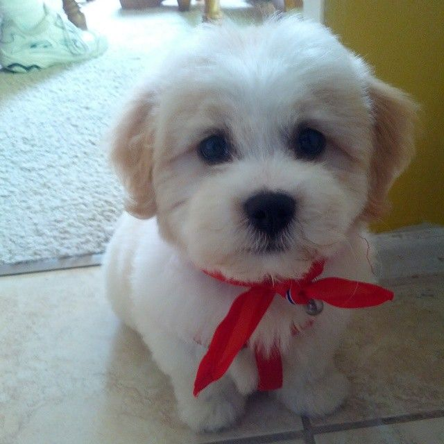 shih tzu and bichon 11 best lola images on pinterest dog haircuts little 5731