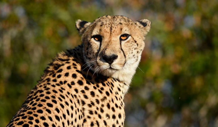 A #leopard, taken near Thornybush Game Lodge in #Kruger Private Reserves, South Africa. #safari africatravelresource.com
