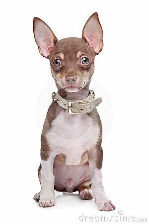 Short Haired Chihuahua Puppies Jpeg - http://roc-hosting.info/short-hair/short-haired-chihuahua-puppies-jpeg.html