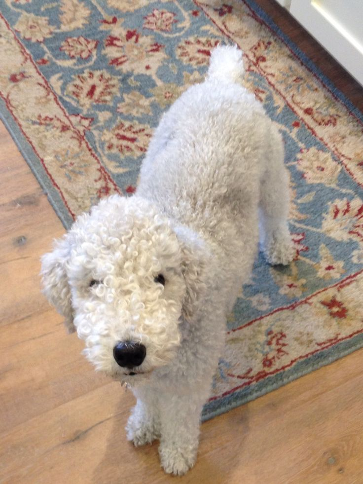 Cooper the bedlington terrier