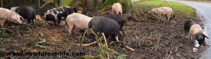 New Forest pigs near Bramshaw