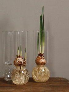 *** Paper White Narcissus Glass Bulb Vase Holiday Gift - Plant Life