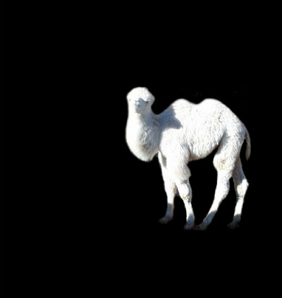 White two hump camel baby