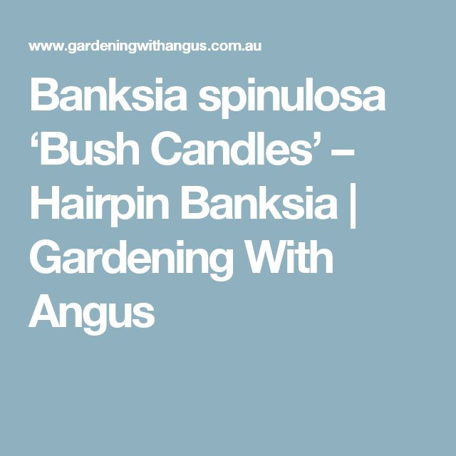 Banksia spinulosa 'Bush Candles' – Hairpin Banksia | Gardening With Angus
