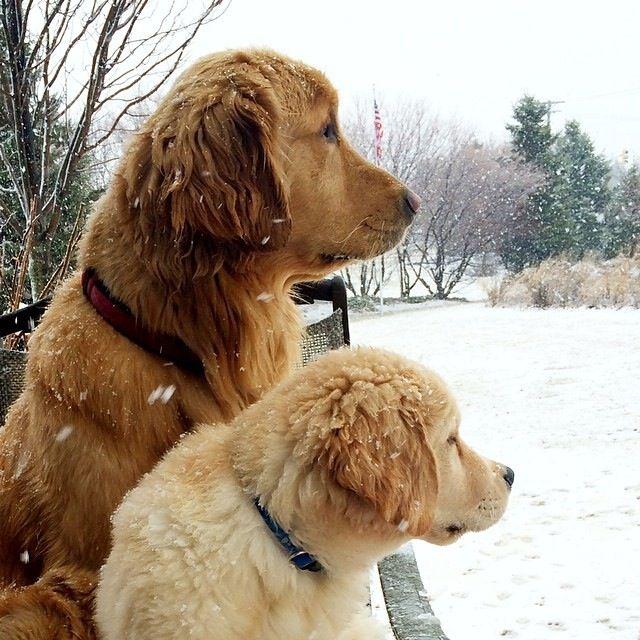 Snow. .AGAIN. #Goldens