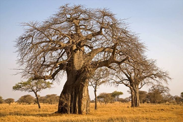 """Wisdom is like a baobab tree; no one individual can embrace it."" -East African Proverb"
