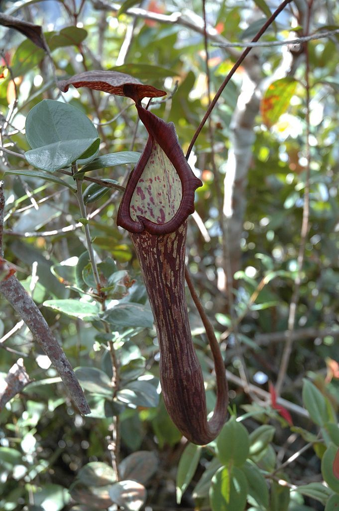 An upper pitcher of Nepenthes faizaliana from Mount Api. This species is endemic to Gunung Mulu National Park.