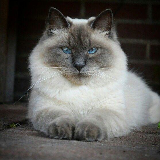 Neva Masquerade Vs Siberian Cat