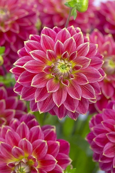 Dahlia Flowers Garden Love | Backyards Click