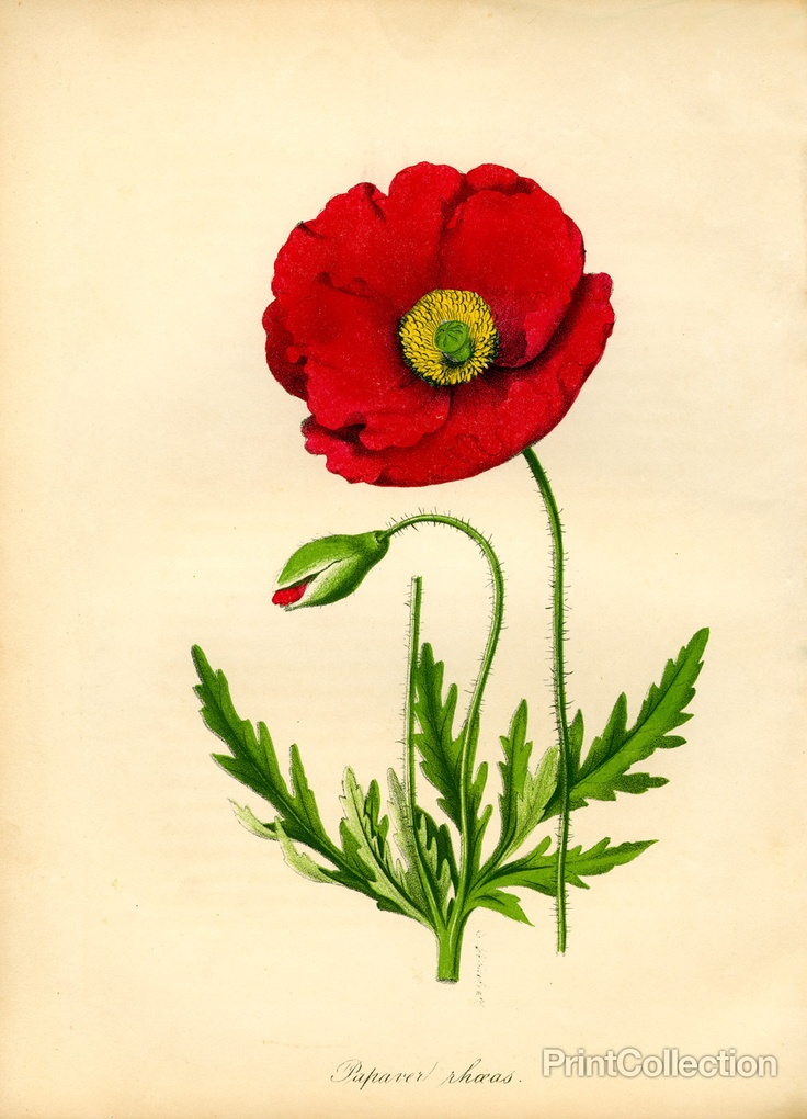 my parents have these prints on their dining room walls. but they don't have a poppy. i want a poppy.