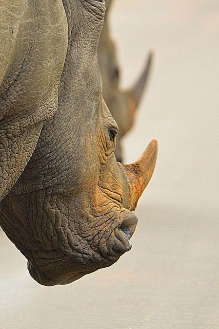 Photo of Rhino from rear