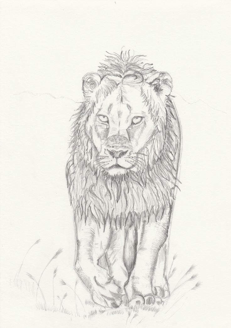 Lion pencil sketch. May zentangle him.....