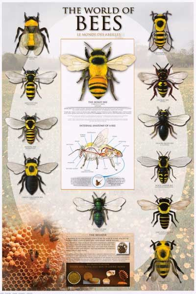 Bees Types of Bees Apoidea Beekeeping Poster 24x36
