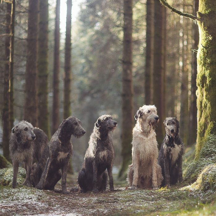 Dog Breed of the Week: Irish Wolfhound | PawPost