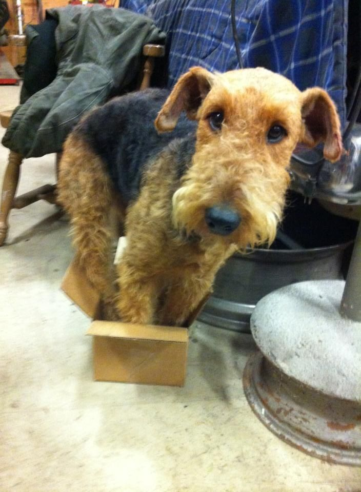 1029 best Airedales to Love images on Pinterest  Airedale terrier, Doggies and Dogs