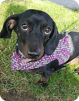Pictures of LILLY a Dachshund for adoption in Portland, OR who needs a loving home.