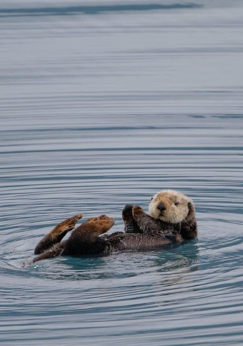 Sea otter, Alaska                                                                                                                                                     More