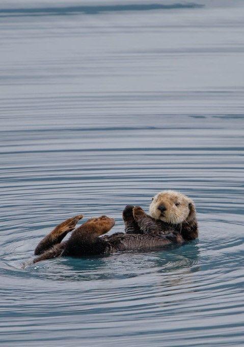 Sea otter, Alaska                                                                                                                                                     More
