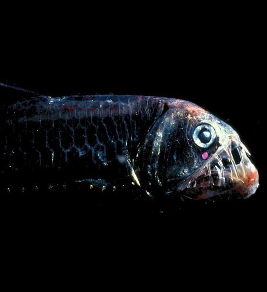 25 best ideas about weird sea creatures on pinterest for Weird deep sea fish