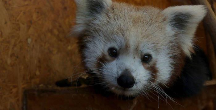 Zoo Plzeň pokřtila nového pandího samečka