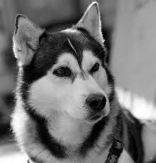 Alaskan Husky My hubby would love to have one!