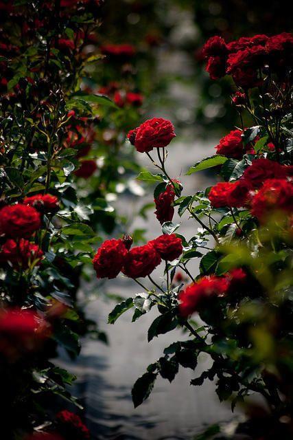 """"""" Eu acredito. Vivo de acreditar."""" Vivo para florescer outros jardins e, sem perceber, o meu se abarrota de rosas e manacás... Vivo, cada dia, como se fosse cada dia. Nem o último nem o primeiro - O único. Pablo Neruda:"""