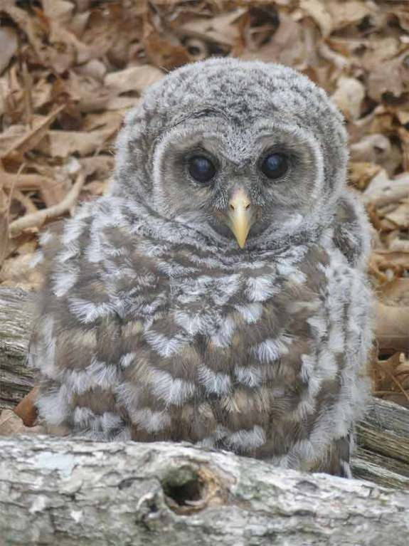 Whooo's in there? Images of Amazing Owls   Birds of Prey & Nocturnal Birds   Boreal Owls, Snowy Owls   LiveScience
